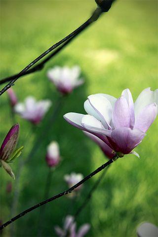 Tulip tree blooms