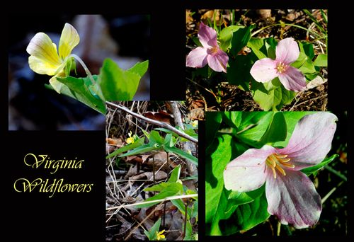 Virginia wild flowers