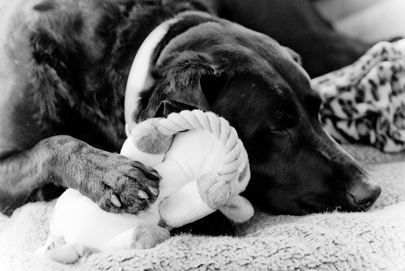 Labrador_with_stuffed_baby