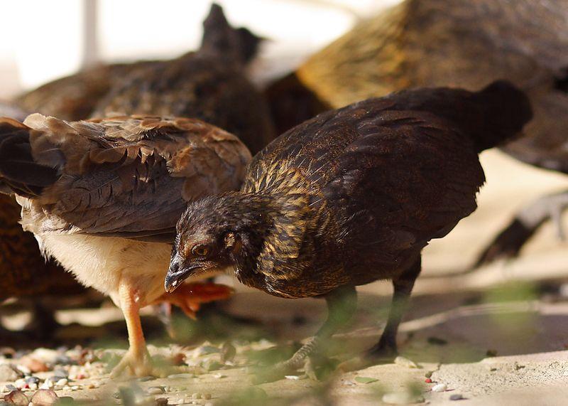 Chicks2b