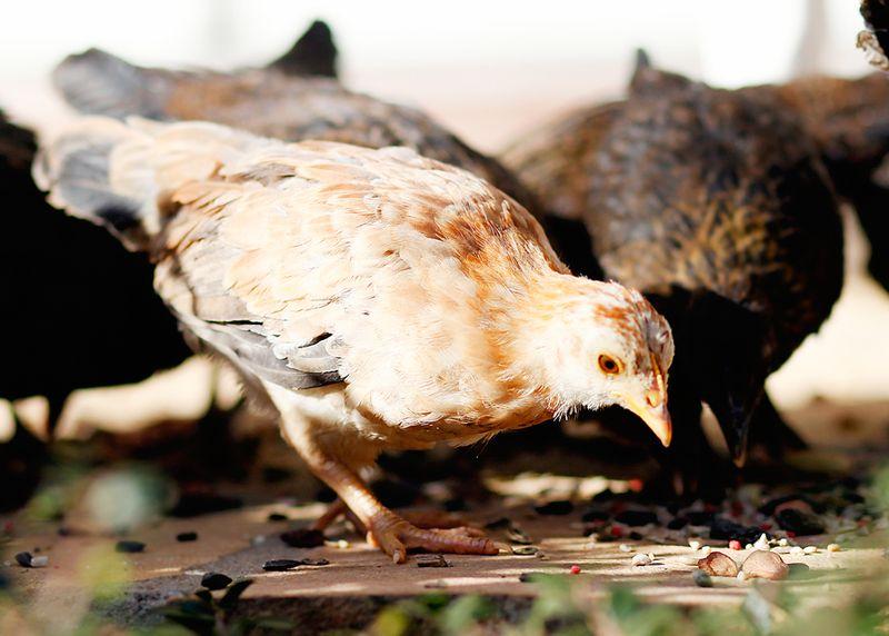 Chicks2a