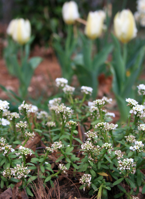 _1_white_tulips