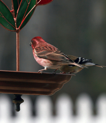 _purple_finch