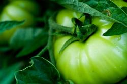 _a_garden_tomato