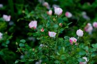 _a_rose_garden