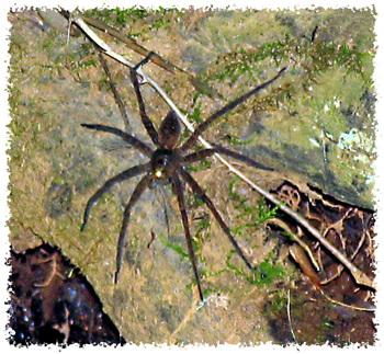 _1_big_water_spider