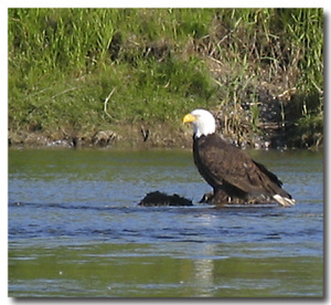 _1st_bald_eagle_shot_1