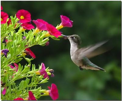 _a_hummingbird_in_flight_filtered