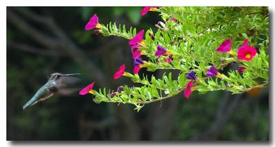 _a_hummingbird_photo