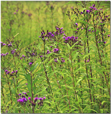 _a_purple_meadow