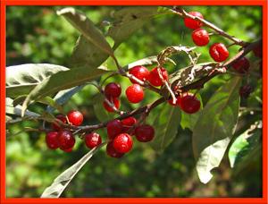 _cherry_lookalike