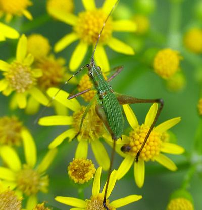 _dancing_bug