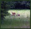 _deer_family