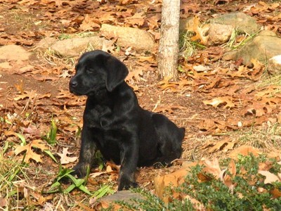 Lab_puppy_earl_photo